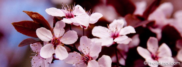 Facebook Cover Photo Blossoms