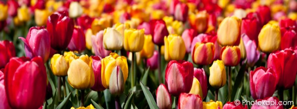 Facebook Cover Photo Tulips