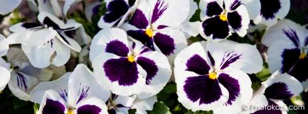Facebook Cover Photo Pansies