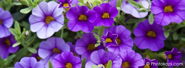 Facebook Cover Photo Petunias