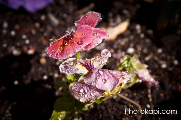 Pansy Water Droplets I