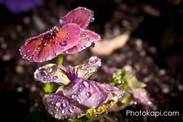 Pansy Water Droplets III