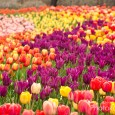 Thanksgiving Point Gardens has an annual tulip festival where they plant over 250,000 tulips. It is amazing. The gardens are amazing. Here are some of the pictures I took while...